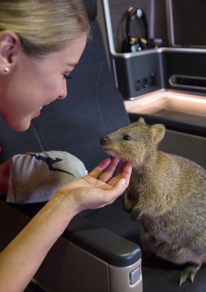 Qantas Names Latest Dreamliner Quokka In Honour Of Native Species