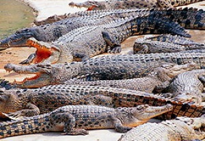 Hunt underway for missing crocodiles in Thailand