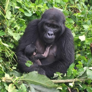 Planning a Gorilla Safari; important things to know
