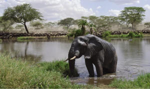 Elephant poaching and how it's erasing the African giants