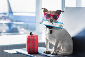 Focus: Pets on Planes: What You Need to Know