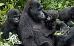 How to go gorilla trekking in bwindi forest Uganda on budget