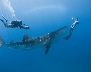 Swim with whale sharks at Four Seasons Resort Seychelles