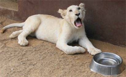 More White Lions Introduced At Legend