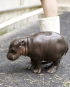 Waterloo to get pygmy hippo petting zoo