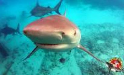 Bahamas $80 million dollar shark tourism industry grows again