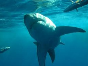 Diver killed in suspected shark attack